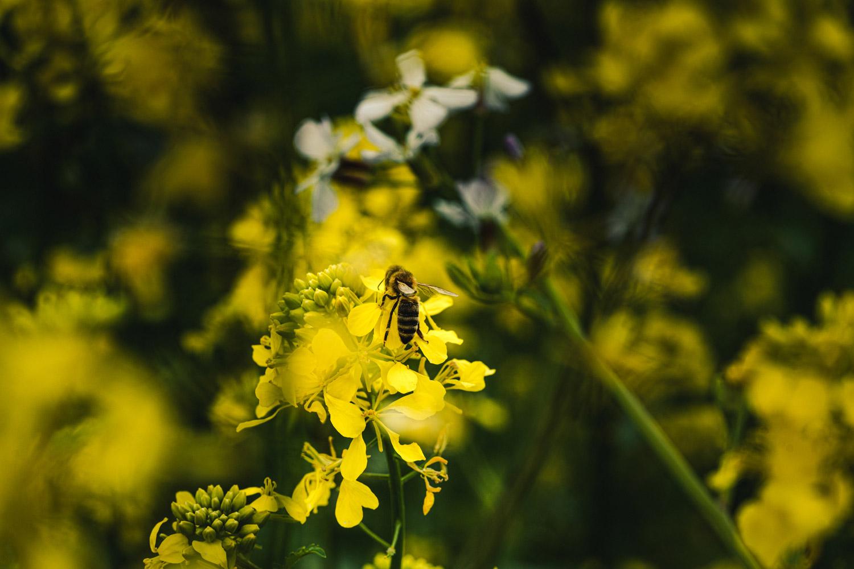 Chev Bee in Vineyard