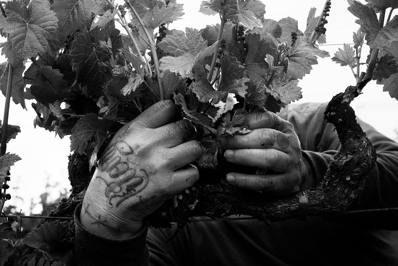 Vineyard worker clutching vines